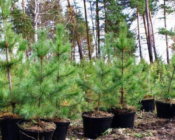 Разработка проектов лесовосстановления